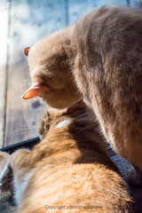 Detente by Window Light (Photographybyjw) Tags: detente by window light leo actually licking prissys head hopefully trying be nice he gives her hard time shot north carolina cats felines rural friendly nap