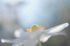softly morning (yoshinori.okazaki) Tags: anemone white morning bokeh pentaxart