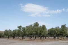 (Psinthos.Net) Tags:  psinthos october autumn    countryside sunnyday   day light  bluesky    clouds  iamatiko matiko iamatikon iamatikopsinthos       olivetrees fields  drygrass     stones soil ground trees  road   ruralroad treetrunk treetrunks