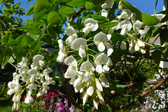 Wisteria brachybotrys 'Shiro-kapitan' (dgardenia) Tags: rose roses flower macro nature garden spring ranunculus wisteria pottedplant lily lilies lilac tree lavender stock