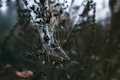 (philipps95) Tags: fog autumn fall leaves foliage droplets haze spider webs macro moody