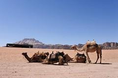 #jordanian #shareyourjordan #jordan #myjordanjourney #dromedarios #animals #desert #wadirum #livelovejordan #everydayjordan #jordansdaily #jordantraveler # #_ #travelgram #mi (Uxa Vila) Tags: instagramapp square squareformat iphoneography uploaded:by=instagram jordan wadirum desert animal middleeast