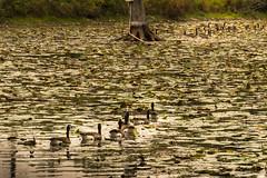 Geese (hickamorehackamore) Tags: 2016 canadageese cornelllabofornithology ithaca ny nystate newyork newyorkstate sapsuckerpond september geese