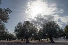 (Psinthos.Net) Tags:  psinthos october autumn    countryside sunnyday   day light    clouds  iamatiko matiko iamatikon iamatikopsinthos       olivetrees fields  drygrass  trees  sunlight    sun treetrunk treetrunks