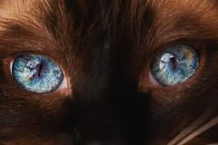Nebula (Mark Liddell) Tags: alf ragdoll cat blue eyes colourpoint sealpoint whiskers pedigree black mask cute pet animal glasgow scotland macro closeup nebula galaxy reflection muscles iris pupil gold flecks