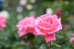 Autumn Rose 2016 (Yasuz) Tags: autumn rose pink flower flowers nikon nikondf zeiss 85mm planart1485 zf2 nature        garden