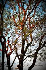 arvore (reginatnia) Tags: samambaias rosas roseiras pordosol palmeiras arvoresbrasileiras arvores gotasdechuva folhas natureza flowers paisagens