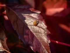 ladybird beetle (Svanny1982) Tags: natur herbst autum marienkfer germany hannover blatt rot
