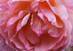 DSC_3199 (PeaTJay) Tags: nikond750 reading lowerearley berkshire macro micro closeups gardens outdoors nature flora fauna plants flowers rose roses rosebuds