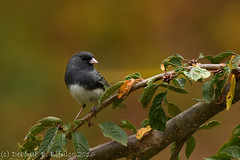 Dark-eyed junco (dbifulco) Tags: deju autrumn birds cherrytree darkeyedjunco fall nature newjersey nikkor300f4pfed wildlife
