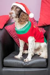 Bracke (Jez22) Tags: scooby bracken spaniels cocker springer christmas cute dogs fun canine pet animal doggy festive jumper black liver white looking pedigree indoors copyright jeremysage