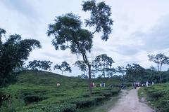 H504_3581 (bandashing) Tags: trees landscape green lush teagarden teabush plaant rollinghills sky sylhet manchester england bangladesh bandashing aoa socialdocumentary akhtarowaisahmed