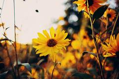 (noemi.m) Tags: nature plant flower bokeh goldenhour golden helianthustuberosus sunchoke