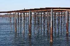 * (Anduze traveller) Tags: france languedocroussillon hrault etangdethau bouzigues oysterfarming