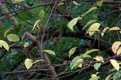 Wintergoldhhnchen (Regulus regulus) (1), NGIDn2045028043 (naturgucker.de) Tags: ngidn2045028043 naturguckerde wintergoldhhnchenregulusregulus kurpark timmendorferstrand cweizhaobird
