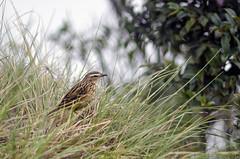 (Kals Pics) Tags: kodaikanal tamilnadu india dindigul sparrow bird nature graass silentvalley westernghats life trees plants herbs mountains hillstation kalspics cwc chennaiweekendclickers roi rootsofindia