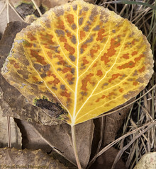 Life's cycles (Patrick Dirlam) Tags: trips easternsierra aspen fall autumn gold yellow dying