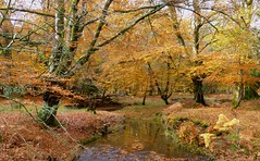 New Forest NP, Hampshire, England (east med wanderer) Tags: england hampshire newforestnationalpark woodland forest stream autumn oak beech water holly uk worldtrekker
