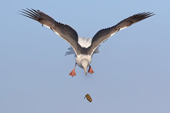 Playing! (bmse) Tags: western gull playing aerial acrobat wings bolsa chica canon 7d2 400mm f56 l bmse salah baazizi wingsinmotion