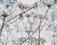 Cow parsnip (Andrei Grigorev) Tags: cowparsnip doubleexposure art abstract details