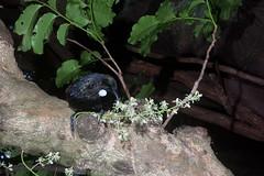 Tui (Prosthemadera novaeseelandiae) and Kohekohe (Dysoxylum spectabile) (Nga Manu Images NZ) Tags: dysoxylumspectabile fscientificnames feeding flowering kohekohe plantsandfungi prosthemaderanovaeseelandiae trees