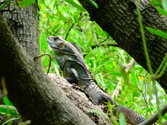 53 (Dole Posleman) Tags: iguana garrobo arbol hojas verde vida