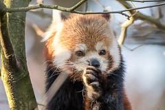 rode panda (Christel Schoepen) Tags: planckendael dierenpark rode panda
