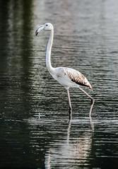 IMG_00755 (ibzsierra) Tags: ibiza eivissa baleares canon 7d 100400isusm ave bird oiseau flamenco flamingo salinas parque natural