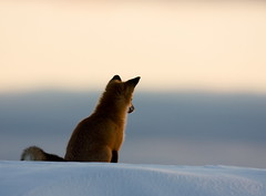 Renard1 (Luc Farrell Photographe animalier) Tags: redfox renardroux