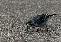 Pied Wagtail (4) (grahamh1651) Tags: helstonboatinglake birds gulls ducks geese waterbirds swans