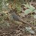 Female Satin Bower Bird - Ptilonorhynchus violaceus - Barton - ACT - Austalia - 20161015 @ 14:24