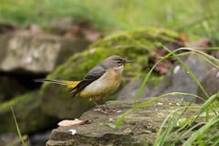 grey wagtail (mal265) Tags: birds wildlife rspb old moor ngc