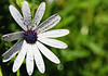 Full frontal (gypsydrs) Tags: flower africandaisy