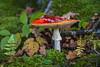 November Fly Agaric 2016 IX (boettcher.photography) Tags: mushroom pilz natur nature november herbst autumn fall makro macro flyagaric fliegenpilz germany deutschland sashahasha boettcherphotography