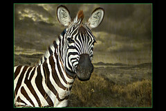 The Wild Things of God (janetfo747 ~ Happy Holidays To You!) Tags: zebra leopard savanna giraffe night sunset evening dark heat earth wild things africa samburu safari