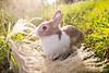 IMG_1757.jpg (ina070) Tags: animals canon6d cute grass outdoor outside pets rabbit rabbits 兔 兔子 寵物 草叢 草地 草皮 å åå å¯μç© èå¢ èå° èç®