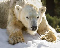 Loving the Snow (Penny Hyde) Tags: bear polarbear sandiegozoo