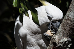 Cockatoo in Macadamia tree. (Joep Buijs Photography) Tags: birdsofaustralia macadamia tree cockatoo detail head awesome brilliant bird australia queensland