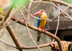 Common Kingfisher (Debajyoti M) Tags: bird india westbengal d5100 indianbirds autofocus animal birds birbhum flickrlovers flickrlover nikond5100 naturalcolours nature outdoor wow tropicalbirds 2016 commonkingfisher