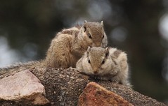 In Lodi Park, New Delhi, the squirrels close in at dusk..... (bearlike1) Tags: squirrel squirrels nature natural animals animal outdoors outside outdoor outdoorswoodland park stripes rodent india new delhi lodi dusk