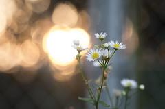 Erigeron annuus (aqugacosmo) Tags: pentax erigeronannuus tamron sp90 90mm macrolens macro japan k5iis k5s flowers fence magichour