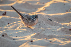 Sagebrush Sparrow-8777G (Paul*Nelson) Tags: michigan michigansupperpeninsula sagebrushsparrow sparrow up upperpeninsula whitefishpoint bird rarebird