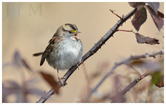 White-Throated Sparrow - Carbon County (PA) (BROAD-WINGED BIRDING) Tags: whitethroatedsparrow sparrow tanstriped beltzvillestatepark carboncounty pennsylvania november 2016