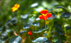 red, orange, green and yellow (harrypwt) Tags: harrypwt 5dmarkii 50mm18 nigeria abuja nature flowers red