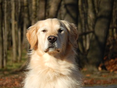 Sunny 47/52 (Lianne (calobs)) Tags: 52 weeks for dogs goldenretriever