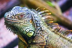 Victor (TheMiner_) Tags: sanignacio belice belize iguana iguanaverde reptil macro sigma70300 canon canont5i canonlovers vacaciones