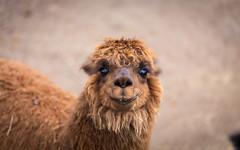 Cute Alpaca (Casper-Larsen) Tags: sigma105mmf28exdgoshsmmacro sigma macro portrait animal cute alpaca koling den geografiske have canon 6d