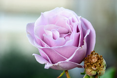 Transient beauty (George Fournaris) Tags: rose  lavender purple