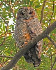 Mottled Wood Owl (Strix ocellata) (Dr. Nishith Kumar Photography) Tags: drnishithkumarphotography drnishith nishith nationalgeographic nationalgeographicworldwide nationalgeography wildlife wwf wildlifesafari worldsbestpic flickr lucknow owl owlet sgpgims sgpgi sigma safari sigma150600 sigma150600c sigma150600contemporary mottledwoodowl strixocellata canon canon60d india indianbirds indian indianwildlife bird birdsofindia birdphotography birdsofuttarpradesh