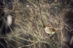 Winter Ready? (flashfix) Tags: november262016 2016 2016inphotos nikond7000 nikon ottawa ontario canada 55mm300mm finch bokeh nature mothernature sparrow lines branches bird birdportrait droplets rain waterdroplets